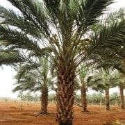 עצי תמר למכירה - עצי פרי בוגרים למכירה | הדר נוי משתלות