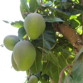 עץ מנגו - עצי פרי | הדר נוי משתלות