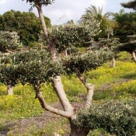 עץ-זית-בונסאי