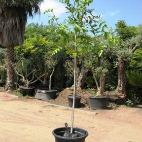 כסייה פיסטולה למכירה - עצי נוי | הדר נוי משתלות