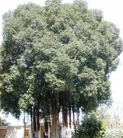 פיקוס מעוקם - עצי נוי | הדר נוי משתלות