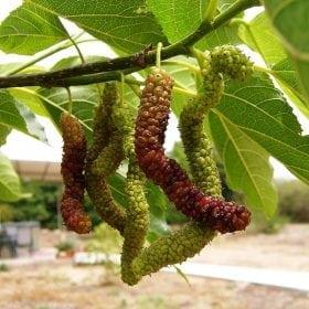 תות פקיסטני 'ארוך פרי' - עצי פרי אקזוטיים | הדר נוי משתלות