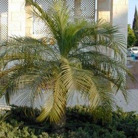 תמר רובליני (פניקס רובליני) - עצי נוי | הדר נוי משתלות