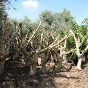 עצי זית סדרה 6 - זיתי ברנע מאוקלמים - עצי נוי | הדר נוי משתלות