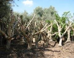 אדיר עצי זית למכירה | הדר נוי משתלות LI-36