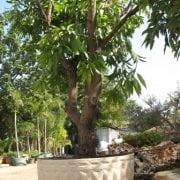 מנגו מאיה שתול במיכל - עצי נוי | הדר נוי משתלות