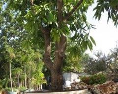 מנגו מאיה שתול במיכל - עצי נוי   הדר נוי משתלות
