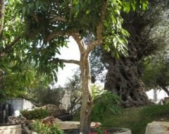 עץ ליצ'י שתול במיכל - עצי נוי   הדר נוי משתלות