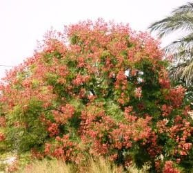 פנסית דו נוצתית (קלורטריה) - עצי נוי   הדר נוי משתלות