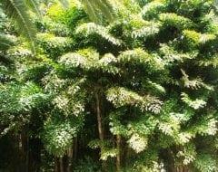 קריוטה נאה ('דקל זנב הדג') - עצי נוי | הדר נוי משתלות