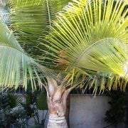 רביניאה ריבולריס - עצי נוי | הדר נוי משתלות