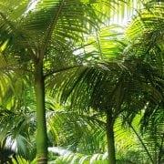 ארכי-תמר קונינגהמיאנה ('דקל הטבעות') - עצי נוי | הדר נוי משתלות