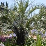 בוטיה דרומית - עצי נוי | הדר נוי משתלות