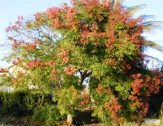 פנסית דו נוצתית (קלורטריה) - עצי נוי | הדר נוי משתלות