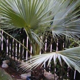 ליויסטונה צ'יננסיס - עצי נוי | הדר נוי משתלות