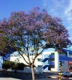 סיגלון חד-עלים (ג'קרנדה) - עצי נוי | הדר נוי משתלות