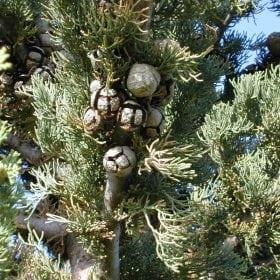 ברוש מצוי אופקי - עצי נוי | הדר נוי משתלות