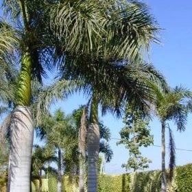 רויסטוניאה מלכותית ('דקל המלך') - עצי נוי | הדר נוי משתלות