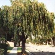 אגון גמיש - עצי נוי   הדר נוי משתלות