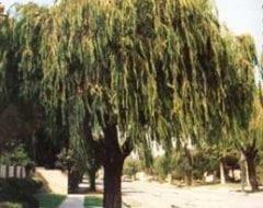 אגון גמיש - עצי נוי | הדר נוי משתלות