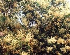 ליגוסטרום יפני - עצי נוי | הדר נוי משתלות