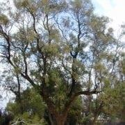 אשל הפרקים - עצי נוי | הדר נוי משתלות