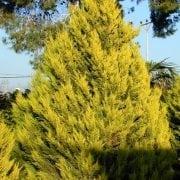 ברוש לימוני - עצי נוי   הדר נוי משתלות
