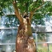 בריכיכטון דו-גוני - עצי נוי | הדר נוי משתלות