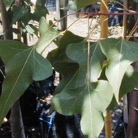 בריכיכטון צפצפתי - עצי נוי | הדר נוי משתלות