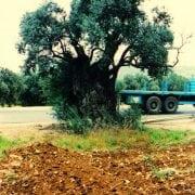 זית אירופאי - עצי נוי | הדר נוי משתלות