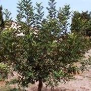 חרוב מצוי - עצי נוי | הדר נוי משתלות