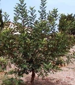 חרוב מצוי - עצי נוי   הדר נוי משתלות