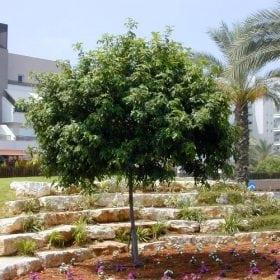 כרבל לביד - עצי נוי | הדר נוי משתלות