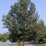 לגונריית פטרסון - עצי נוי | הדר נוי משתלות