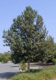 לגונריית פטרסון - עצי נוי   הדר נוי משתלות