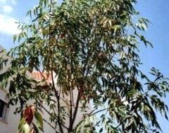 מילה ירוקת-עד - עצי נוי | הדר נוי משתלות
