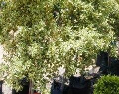 פיקוס בינימינה (סטארלייט)פיקוס בינימינה (סטארלייט) - עצי נוי | הדר נוי משתלות