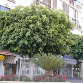 פיקוס בנימינה - עצי נוי | הדר נוי משתלות