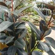 פיקוס הגומי - עצי נוי | הדר נוי משתלות