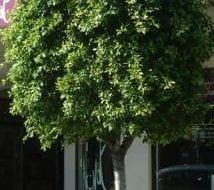 פיקוס השדרות - עצי נוי | הדר נוי משתלות