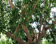 פיקוס חלוד - עצי נוי | הדר נוי משתלות