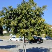 פיקוס צר-עלים (פיקוס תאילנדי) - עצי נוי | הדר נוי משתלות