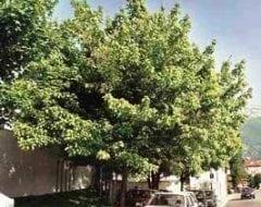 אדר מילני - עצי נוי | הדר נוי משתלות