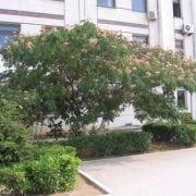 אלביציה ורודה - עצי נוי | הדר נוי משתלות