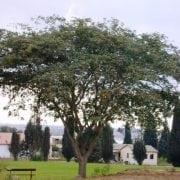 אלביציה צהובה - עצי נוי | הדר נוי משתלות