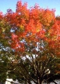אלה ארצישראלית - עצי נוי | הדר נוי משתלות