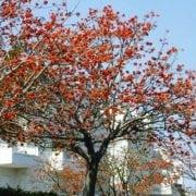 אלמוגן רחב עלים- עצי נוי   הדר נוי משתלות