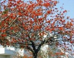 אלמוגן רחב עלים- עצי נוי | הדר נוי משתלות