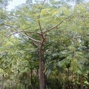 אנטרולוביום כפוף פרי- עצי נוי   הדר נוי משתלות