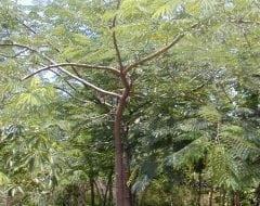 אנטרולוביום כפוף פרי- עצי נוי | הדר נוי משתלות